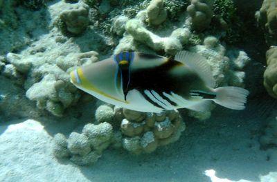 baliste-picasso dans Iles sous le Vent