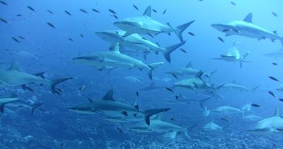 Plongée sous marine à Fakarava dans Aquatique Plongée sous marine CT3599