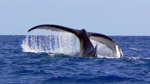 Baleines à Tahiti saison 2012 dans Aquatique Faune P1310088b