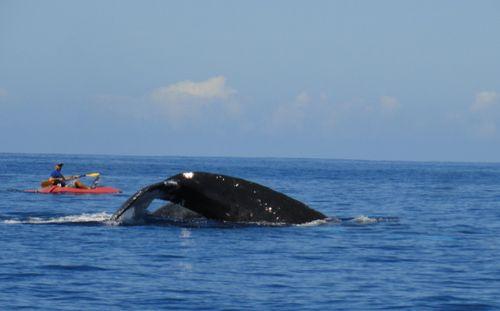 baleine-en-kayak-3 dans Aquatique Faune